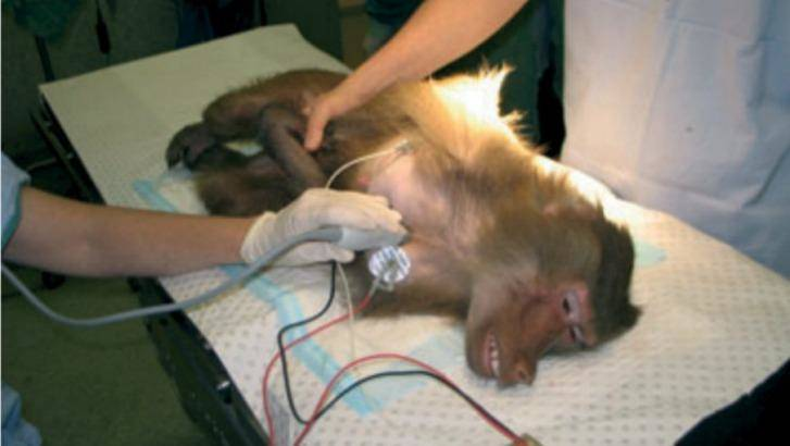 A baboon being experimented on at Royal Prince Alfred Hospital in Sydney. Source Journal of Medical Primatology Photo: Journal of Medical Primatology